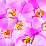 Orchid Flowers background. Closeup Stock Photo
