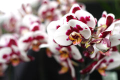 Orchid flowers. Stock Images