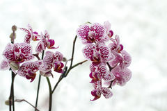 Orchid flowers on a background Royalty Free Stock Image