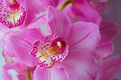 The Orchid flowers Beautiful floral background for greeting cards, wallpapers, covers, screen savers, posters, wedding invitations. The Orchid flowers. Beautiful Royalty Free Stock Photo