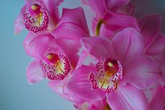 The Orchid flowers Beautiful floral background for greeting cards, wallpapers, covers, screen savers, posters, wedding invitations. The Orchid flowers. Beautiful Royalty Free Stock Photos