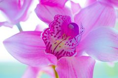 The Orchid flowers Beautiful floral background for greeting cards, wallpapers, covers, screen savers, posters, wedding invitations. The Orchid flowers. Beautiful Royalty Free Stock Images