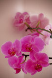 Orchid flowers. Beautiful orchid pink flowers for gifts Royalty Free Stock Photos