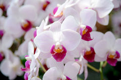 Orchid flowers Royalty Free Stock Photography