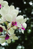 Orchid -while flowers Royalty Free Stock Photography