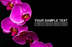 Orchid flowers on black background Royalty Free Stock Photo