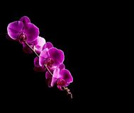 Orchid flowers on black background Stock Photo