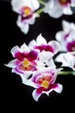 Orchid flowers on black. Background in a studio Stock Photography
