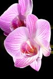 Orchid flowers on black (Phalaenopsis sp) Stock Images