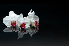 Orchid flowers on black Royalty Free Stock Photography