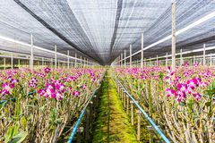 Orchid flowers blooming in orchid farm, agriculture. Royalty Free Stock Image