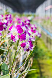 Orchid flowers blooming in orchid farm, agriculture. Stock Photography