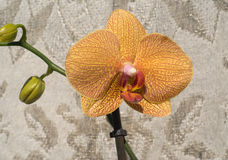Orchid flowers blossom over woven background Royalty Free Stock Photo