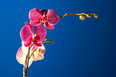 Orchid in the night Royalty Free Stock Images