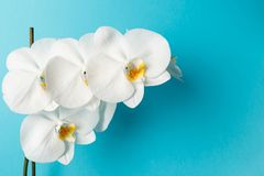 Orchid flowers on blue background royalty free stock photo