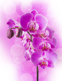 Orchid flowers border. Beautiful border with pink orchid flowers Stock Photography