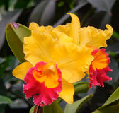 Orchid flowers at the Botanic Gardens in Singapore Stock Images