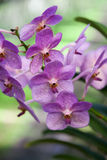 Orchid. Flowers in the botanical garden, Tailand Stock Photography