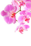 Orchid flowers on branch Stock Photography