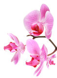 Orchid flowers on branch Royalty Free Stock Photos