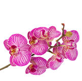 Orchid flowers  branch close up Stock Photo
