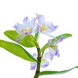 Orchid flowers branch Stock Images