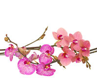 Orchid flowers  branches Royalty Free Stock Photo