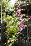Orchid flowers on branches in a garden of orchids with a drip irrigation system.Thailand Phuket Stock Image
