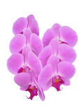 Orchid flowers. A bunch of flowers of pink phalaenopsis orchid on white Royalty Free Stock Photo