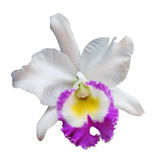 Orchid flowers with clipping path Royalty Free Stock Photography
