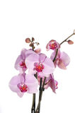 Orchid flowers close up isolated Stock Photos