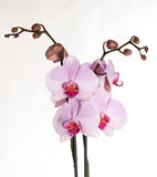 Orchid flowers close up isolated Royalty Free Stock Images
