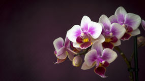 Orchid Flowers Closeup Royalty Free Stock Photography