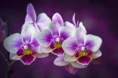 Orchid Flowers Closeup Stock Photo