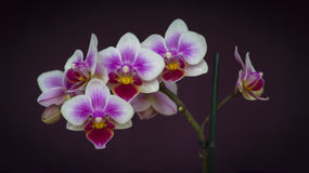 Orchid Flowers Closeup Royalty Free Stock Photo