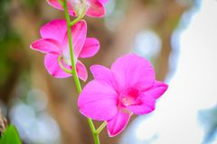 Orchid flowers. Closeup of orchid flower with fresh green nature blurred background at the park Royalty Free Stock Image