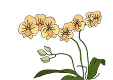 Orchid. Flowers for composition, frame and other Royalty Free Illustration