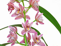 Orchid flowers (Cymbidium) Stock Photography