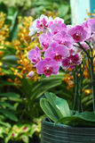 Orchid flowers display - series 2 Royalty Free Stock Photography