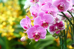 Orchid flowers display - series 3 Stock Image