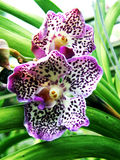 Orchid flowers. Dotted orcid flowers Stock Photo