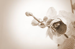 Orchid flowers. Royalty Free Stock Images
