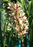 Orchid flowers in a greenhouse. Royalty Free Stock Photos