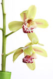 Orchid flowers isolated Royalty Free Stock Photos