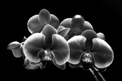 Orchid flowers isolated on black (bla Stock Images