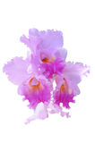 Orchid flowers isolated with clipping path Royalty Free Stock Photography