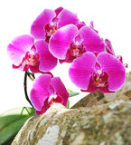 Orchid flowers isolated with clipping path Royalty Free Stock Photo