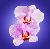 Orchid flowers isolated in violet background Royalty Free Stock Photo