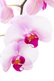 Orchid flowers Royalty Free Stock Image
