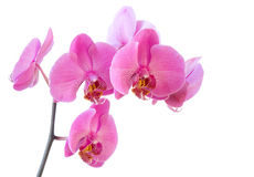 Orchid flowers isolated on white. Background Royalty Free Stock Images